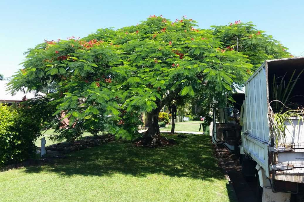 'Tree Lopping' Vs 'Tree Pruning'
