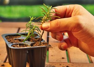 Aussie Tree Solutions Use Cuttings For New Plants