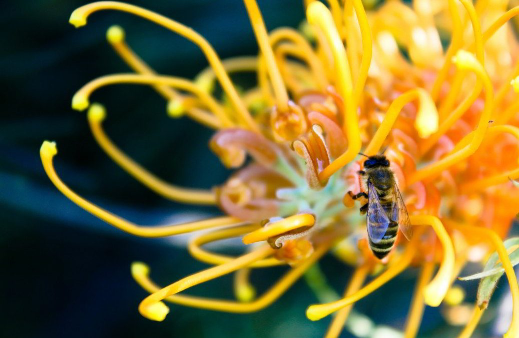 Bee in a grevillea flower