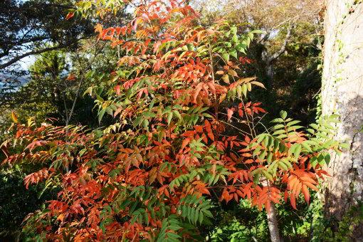 Rhus tree