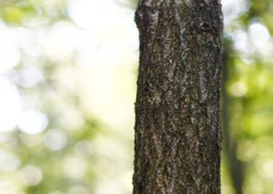 Aussie Tree Solutions Prune For Growth