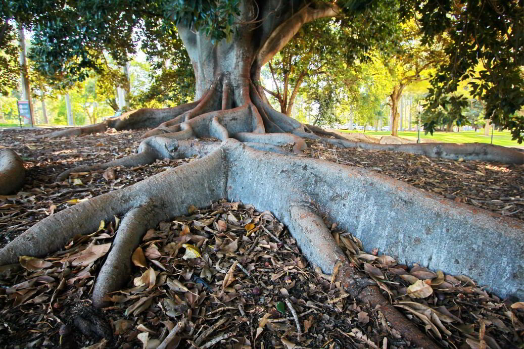 What Trees Should I Avoid Planting In My Brisbane Backyard?