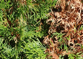 Aussie Tree Solutions Cypress Canker