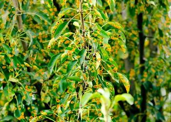 Aussie Tree Solutions Myrtle Rust