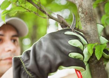 Aussie Tree Solutions Pruning Basics