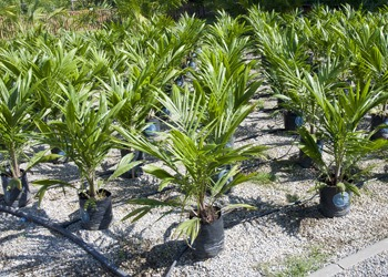 Aussie Tree Solutions Palm