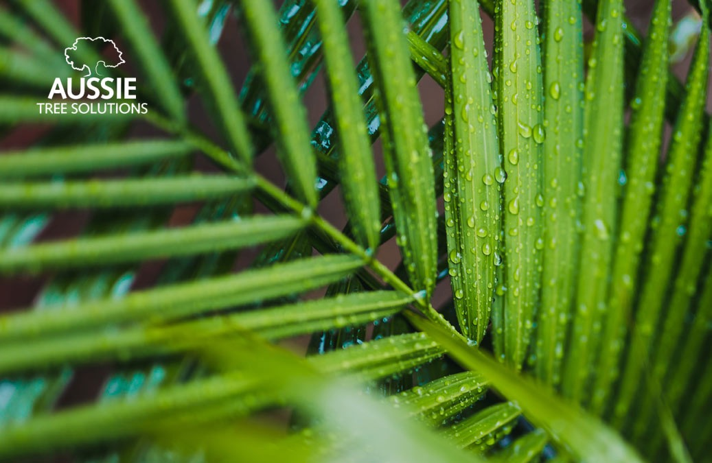 Aussie Tree Solutions Palm Tree Care And Maintenance