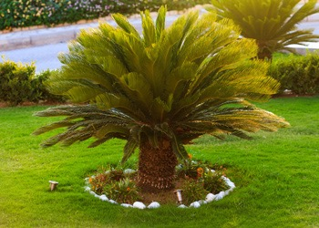 Aussie Tree Solutions Palm Tree Cleaning