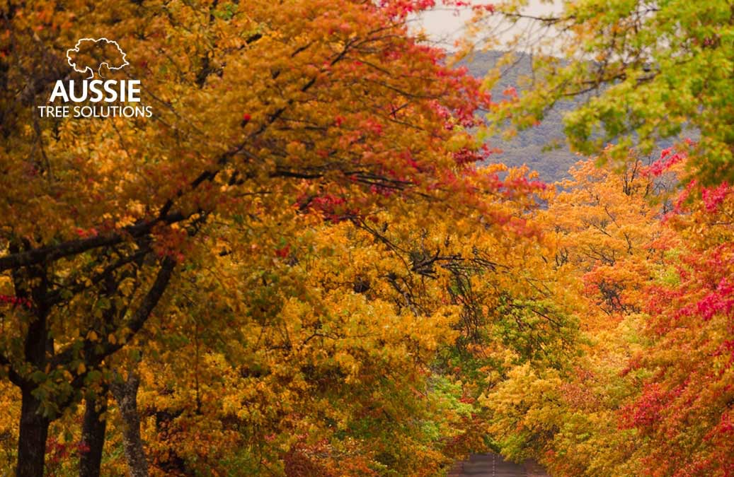 Aussie Tree Solutions The Ultimate Autumn Tree Care Guide