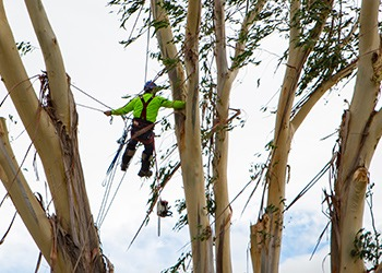 Aussie Tree Solutions Hiring A Professional Tree Service
